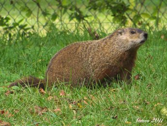 the_groundhog_by_backlash_wave-d4a0t5p